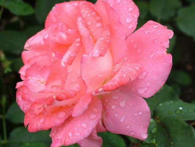 pink rose pruning and gardening perth