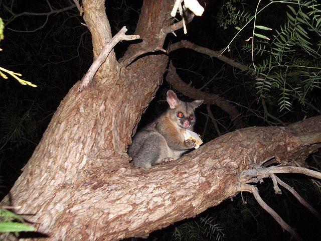 possum in tree garden pest Perth