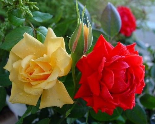 red and yellow roses care and pruning Perth gardening