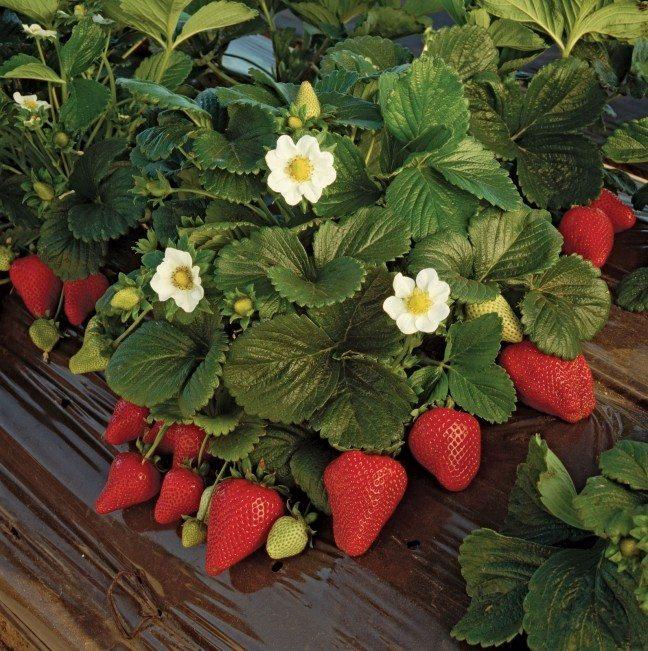 strawberry plant gardening