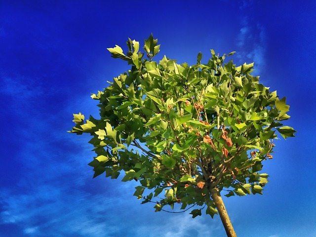 tree blue sky perth gardening