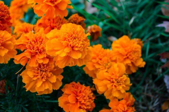 marigolds perth gardening