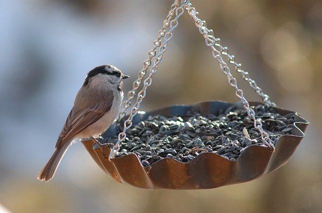 Finch bird feeding in perth garden