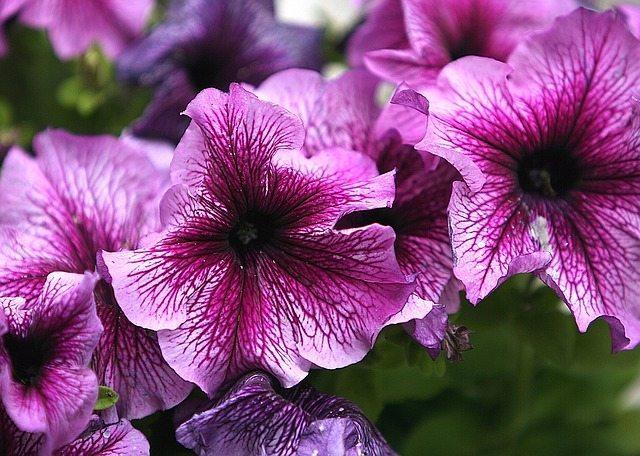 purple Petunia flowers perth