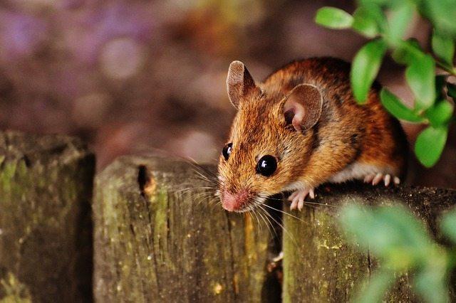 mouse garden pest perth