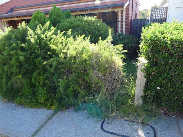 Mint Julep Juniper   Perth Gardening